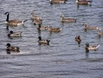 ducks and geese 1
