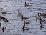 ducks and geese 2
