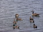 ducks and geese 3