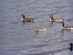ducks and geese 5