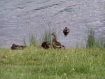 more ducks 1