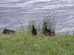 more ducks 3