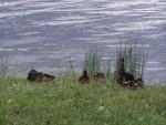 more ducks 4