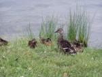more ducks 5