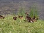 more ducks 6