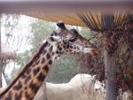 Giraffe close-up 1