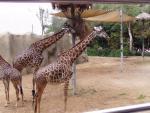 Giraffe family 1