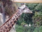 Giraffe close-up 3