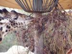 Giraffe close-up 4