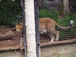 Big cat 1